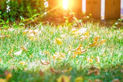 Background of green grass with autumn yellow leaves with sunlight flare.  stock photography