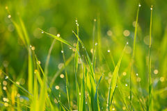 Background of green grass with drops of dew. stock photography