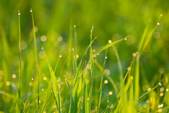 Background of green grass with drops of dew. Stalks of green grass in a field at dawn stock photos