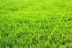 Background from a green grass in the field Royalty Free Stock Photos