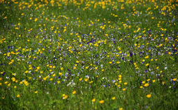 Background of green grass and  meadow flowers. Background of green grass and blossoming meadow flowers Stock Photo