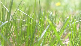 Background with green grass on the meadow swaying on the wind in wild nature. stock video footage