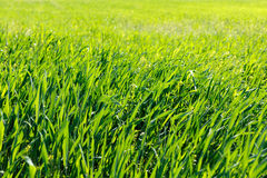 Background of green grass at sunrise. Closeup Stock Photos
