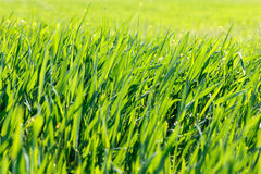 Background of green grass at sunrise. Closeup Stock Photography
