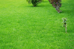 Background green grass Royalty Free Stock Photo