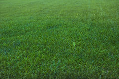 Background green grass Royalty Free Stock Images