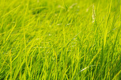 Background of a green grass. Stock Photography