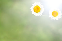 Background of Green Grass and White Daisy Flowers Royalty Free Stock Images