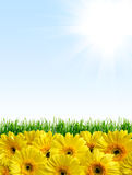 Background with green grass and yellow flowers. Sunny background with green grass and yellow flowers suitable for seasonal (summer or spring) designs, copyspace stock photos