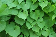 Background of green heart shape leaf.  Stock Photo