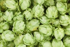 Background of green hop cones. Stock Photography