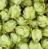 Background of green hop cones. Royalty Free Stock Photos