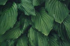 Green Hosta Leaves Royalty Free Stock Photos