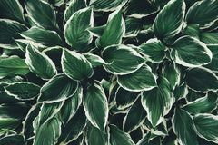 Green And White Hosta Leaves From Above Stock Images