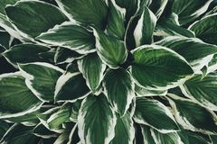 View From Above On Hosta Leaves Stock Photography