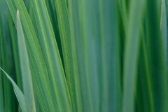 Background of green iris leaves. Macro view of abstract nature texture and background organic pattern. Copy space. Template for design royalty free stock photography