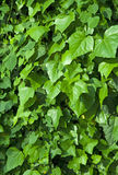 Background of green ivy Royalty Free Stock Photography