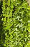Background of green ivy Stock Photos