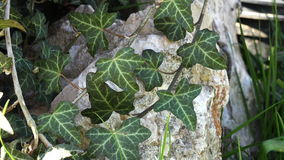 Background of green ivy leaves 4K stock footage