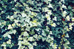 The background of green ivy leaves Royalty Free Stock Photo