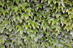 Background of green ivy Stock Image