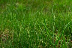 Background of green juicy grass royalty free stock photo