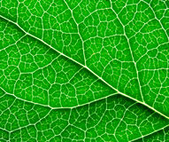 Surface of the green leaf Stock Images