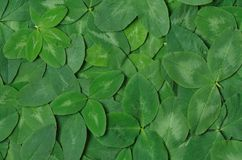 Background of green leaf clover. Background from green clover leaf from the top Royalty Free Stock Images