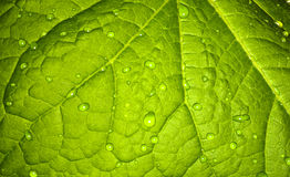 Background, green leaf of a plant. Royalty Free Stock Photo