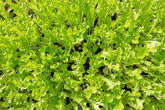 Background with green leaf salad vegetable on daylight Royalty Free Stock Image