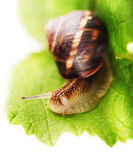 Background with green leaf and snail Royalty Free Stock Image
