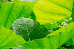 The background of green leaf Royalty Free Stock Photos