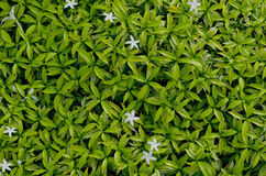Background of green Leaf Royalty Free Stock Photos
