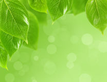 Background with  green leaves Royalty Free Stock Image