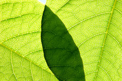 Background of Green Leaves. Surface of two overlapping green leaves with shade and translucent sunlight Stock Photo