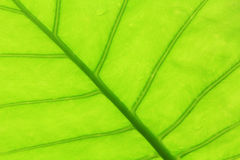 Background Green leaves Royalty Free Stock Images
