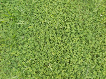 Background with green leaves of clover Stock Photo