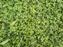 Background with green leaves of clover Stock Image