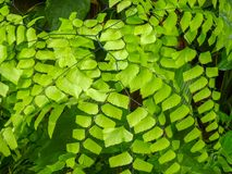 Background of green leaves of Fern royalty free stock photos