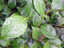 Background of green leaves of fresh camellia in the morning after the rain. In the spring garden Stock Photography