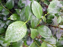 Background of green leaves of fresh camellia in the morning after the rain. In the spring garden Stock Image