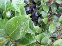 Background of green leaves of fresh camellia in the morning after the rain. In the spring garden Stock Photo
