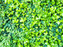 Background of green leaves of ivy Stock Image