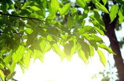 Background. Green  leaves  background  organic  light  nature Stock Image