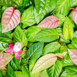 Background of green leaves and red, white fuchsia flower, closeu Stock Photography