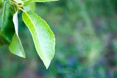 Background from green leaves of a summer tree. With copy space stock photo