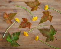 Background from Green Leaves,Yellow Dandelions on the Wooden Table.Autumn Meadow Texture.Top View Royalty Free Stock Images