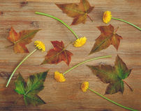 Background from Green Leaves,Yellow Dandelions on the Wooden Table.Autumn Meadow Texture.Top View Stock Photography