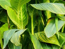 Background Of Green Leaves With Yellow Venation royalty free stock image