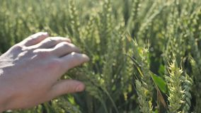 A background of green malt farmer checks the plants for quality. 4k stock video footage